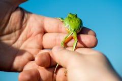 Πληρωμένος βάτραχος δέντρων - Hyla Arborea Στοκ Εικόνα