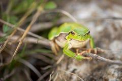 Πληρωμένος βάτραχος δέντρων - Hyla Arborea Στοκ εικόνα με δικαίωμα ελεύθερης χρήσης