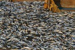 Πλούσια σύλληψη Πλήρες σκάφος των ψαριών Αλιεία της αποβάθρας στη νότια Ινδία Στοκ φωτογραφίες με δικαίωμα ελεύθερης χρήσης