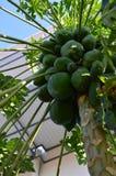 Πλούσιο papaya Στοκ Εικόνα