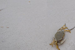 Πλυμένο επάνω καβούρι στην ακτή της Φλώριδας Στοκ Φωτογραφία