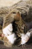 Πλύσιμο γατών Στοκ Εικόνα