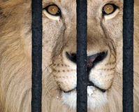 ράβδοι πίσω από το λιοντάρι στοκ φωτογραφία με δικαίωμα ελεύθερης χρήσης