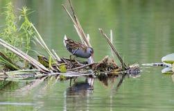 Ράγα νερού πουλιών Στοκ Εικόνες