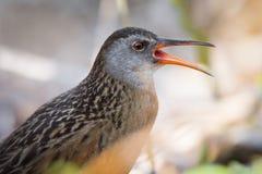 Ράγα Waterbird της Βιρτζίνια που καλεί στο σύντροφο Στοκ φωτογραφία με δικαίωμα ελεύθερης χρήσης