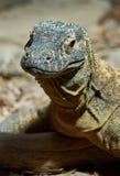 Δράκος Komodo Στοκ Εικόνα