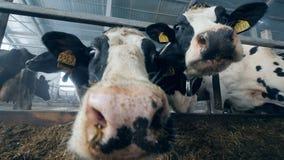 Ράμφη των αγελάδων στενό σε έναν επάνω κατά τη διάρκεια της διαδικασίας σίτισης φιλμ μικρού μήκους