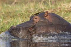 Ράντισμα Hippopotamus στο νερό Στοκ Εικόνες