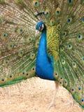 ρέοντας peacock ουρά στοκ φωτογραφίες