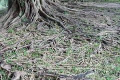 Ρίζα δέντρων Στοκ φωτογραφία με δικαίωμα ελεύθερης χρήσης