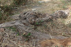 Ρίζα δέντρων Στοκ Εικόνες