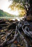 Ρίζα του δέντρου στο ηλιοβασίλεμα στοκ εικόνες
