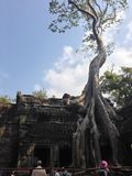 Ρίζα του αρχαίου banyan δέντρου σε Angkor Wat, Καμπότζη Στοκ Εικόνες