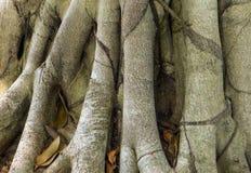 Ρίζα του ξύλινου, μεγάλου δέντρου Ταϊλάνδη Στοκ εικόνα με δικαίωμα ελεύθερης χρήσης