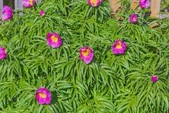 Ρίζα του Marin ή peony (lat Anomala Paeonia) Στοκ Εικόνα