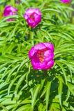 Ρίζα του Marin ή peony lat Anomala Paeonia Στοκ εικόνα με δικαίωμα ελεύθερης χρήσης