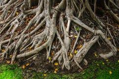 Ρίζα Ficus Benjamina Στοκ εικόνα με δικαίωμα ελεύθερης χρήσης