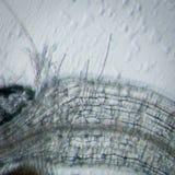Ρίζα thaliana arabidopsis φυτού Στοκ Εικόνες