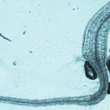 Ρίζα thaliana arabidopsis φυτού Στοκ φωτογραφίες με δικαίωμα ελεύθερης χρήσης