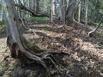 Ρίζες 2 δέντρων - ίχνος Seaton, Οντάριο, Καναδάς Στοκ Φωτογραφία