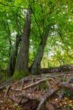 Ρίζες δέντρων και πράσινο δάσος στοκ εικόνες με δικαίωμα ελεύθερης χρήσης