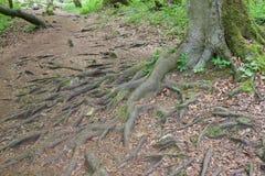 Ρίζες δέντρων που προεξέχουν από το έδαφος Στοκ φωτογραφία με δικαίωμα ελεύθερης χρήσης