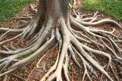Ρίζες δέντρων Στοκ Εικόνα