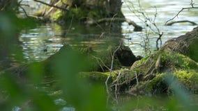 Ρίζες δέντρων στο νερό απόθεμα βίντεο