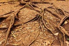Ρίζες δέντρων στο ξηρό ραγισμένο χώμα, φύση Στοκ Εικόνες