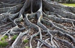 Ρίζες δέντρων σύκων Στοκ φωτογραφίες με δικαίωμα ελεύθερης χρήσης