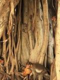 Ρίζες δέντρων Banyan με τους πιθήκους Στοκ Εικόνες