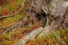 Ρίζες δέντρων beerch στο δάσος φθινοπώρου με τα πεσμένα φύλλα Στοκ εικόνες με δικαίωμα ελεύθερης χρήσης