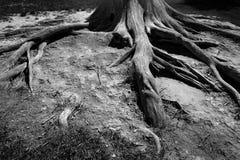 Ρίζες από το αρχαίο παλαιό δέντρο που εκτίθεται σε υπαίθριο Στοκ εικόνες με δικαίωμα ελεύθερης χρήσης