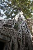 Ρίζες δέντρων που καταπίνουν το TA Prohm ένας 12ος ναός αιώνα Στοκ Φωτογραφίες