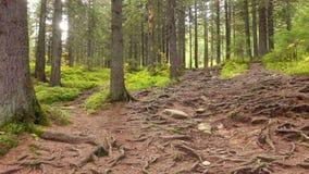 Ρίζες δέντρων σε ένα μαγικό δάσος πεύκων απόθεμα βίντεο