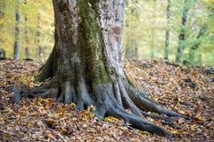 Ρίζες ενός μεγάλου παλαιού δέντρου στο δάσος στοκ εικόνες