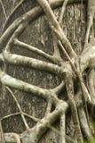 Ρίζες ενός πιασίματος σύκων strangler στενά ένα κυπαρίσσι της Φλώριδας Στοκ Εικόνες