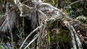Ρίζες κυπαρισσιών, έλος, μεγάλη εθνική κονσέρβα κυπαρισσιών, Φλώριδα Στοκ φωτογραφία με δικαίωμα ελεύθερης χρήσης