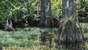 Ρίζες κυπαρισσιών, έλος, μεγάλη εθνική κονσέρβα κυπαρισσιών, Φλώριδα Στοκ φωτογραφίες με δικαίωμα ελεύθερης χρήσης
