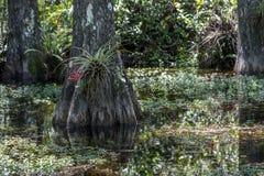 Ρίζες κυπαρισσιών, έλος, μεγάλη εθνική κονσέρβα κυπαρισσιών, Φλώριδα Στοκ Εικόνα