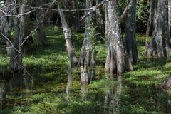 Ρίζες κυπαρισσιών, έλος, μεγάλη εθνική κονσέρβα κυπαρισσιών, Φλώριδα Στοκ Φωτογραφίες