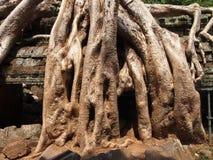 Ρίζες που καλύπτουν τις πέτρες του ναού Angkor Wat Στοκ φωτογραφίες με δικαίωμα ελεύθερης χρήσης