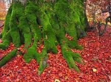 Ρίζες της οξιάς το φθινόπωρο στοκ εικόνες με δικαίωμα ελεύθερης χρήσης
