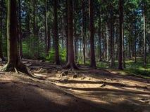 Ρίζες των δέντρων σε ένα κομψό δάσος βουνών στοκ φωτογραφία με δικαίωμα ελεύθερης χρήσης