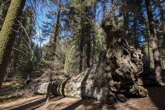 Ρίζες Sequoias Sequoia του εθνικού πάρκου Στοκ φωτογραφίες με δικαίωμα ελεύθερης χρήσης