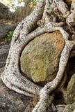 Ρίζες Sycomore που περιπλέκονται γύρω από έναν λίθο Στοκ εικόνα με δικαίωμα ελεύθερης χρήσης