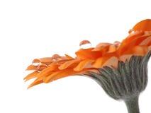 ρίχνει gerber το πορτοκαλί ύδωρ Στοκ φωτογραφίες με δικαίωμα ελεύθερης χρήσης
