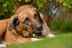 Ραβδί μασήματος σκυλιών Στοκ Φωτογραφίες