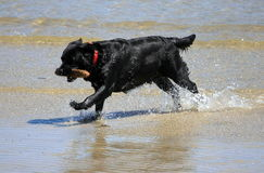 ραβδί σκυλιών παραλιών Στοκ Εικόνα