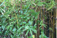 Ραβδιά μπαμπού με τα πράσινα φύλλα Στοκ εικόνες με δικαίωμα ελεύθερης χρήσης
